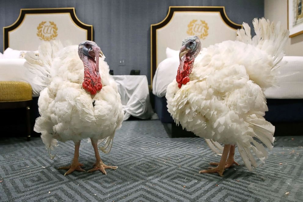 PHOTO: Two turkeys from South Dakota get comfortable in their room at the Willard InterContinental Hotel, after their arrival, Nov. 18, 2018, in Washington.